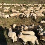 femei ciobani spania