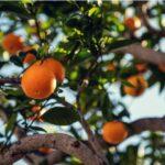 portocale sevilla