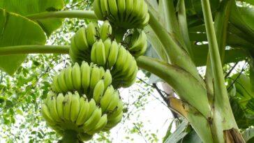 cultura banane la palma